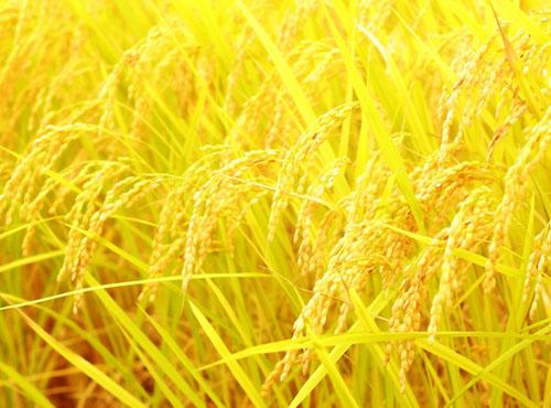 【定期便:全6回】山麓の特別栽培米ヒノヒカリ<10kg×6回>